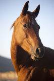 Peaceful Mare Horse Head Shot Side View Summertime Royalty Free Stock Photography