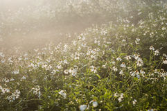 Peaceful meadow sunrise. Peaceful white flower meadow in the sunrise Stock Photography