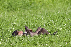 Peaceful moment. Baby baboon lying on back in green pasture contemplating Stock Image