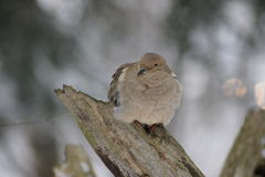 Peaceful mourning dove. Stock Photos