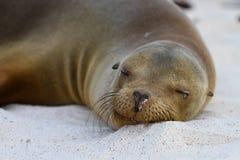 Peaceful Nap. A Galapagos sea lion naps in the warm sun Stock Photos