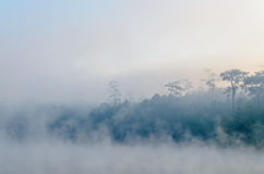 Peaceful natural pine tree in morning with fog at Galyani Vadhana District Royalty Free Stock Photography