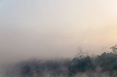 Peaceful natural pine tree in morning with fog at Galyani Vadhana District Royalty Free Stock Photo