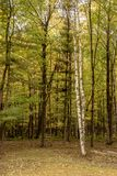 Peaceful northwoods forest scene in Wisconsin during autumn. Peaceful northwoods forest scene in Wisconsin during foggy autumn morning royalty free stock photos