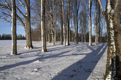 Peaceful oak tree forest in sunny morning after a snow storm. stock image