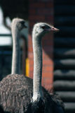 Peaceful old ostrich. Stock Photography