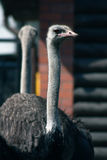 Peaceful old ostrich. Royalty Free Stock Photos