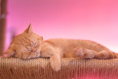 Peaceful orange red tabby cat male kitten curled up sleeping. Stock Photos