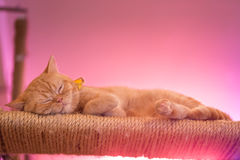 Peaceful orange red tabby cat male kitten curled up sleeping. Royalty Free Stock Image