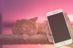 Peaceful orange red tabby cat male kitten curled up sleeping. Woman hand hold smart phone on peaceful orange red tabby cat male kitten curled up sleeping Stock Photos