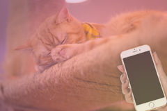 Peaceful orange red tabby cat male kitten curled up sleeping. Woman hand hold smart phone on peaceful orange red tabby cat male kitten curled up sleeping Royalty Free Stock Image