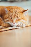 Peaceful Orange Red Tabby Cat Male Kitten Sleeping. Peaceful Orange Red Tabby Cat Male Kitten Curled Up Sleeping In His Bed On Laminate Floor Royalty Free Stock Photos