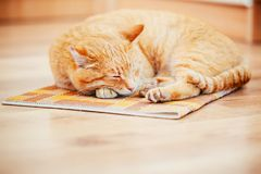 Peaceful Orange Red Tabby Cat Male Kitten Sleeping. Peaceful Orange Red Tabby Cat Male Kitten Curled Up Sleeping In His Bed On Laminate Floor Stock Images