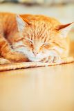 Peaceful Orange Red Tabby Cat Male Kitten Sleeping. Peaceful Orange Red Tabby Cat Male Kitten Curled Up Sleeping In His Bed On Laminate Floor Royalty Free Stock Photo