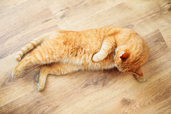 Peaceful Orange Red Tabby Cat Male Kitten Sleeping. Peaceful Orange Red Tabby Cat Male Kitten Curled Up Sleeping In His Bed On Laminate Floor Stock Photo
