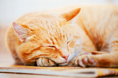 Peaceful Orange Red Tabby Cat Male Kitten Sleeping. Peaceful Orange Red Tabby Cat Male Kitten Curled Up Sleeping In His Bed On Laminate Floor Royalty Free Stock Images