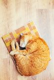 Peaceful Orange Red Tabby Cat Male Kitten Sleeping. Peaceful Orange Red Tabby Cat Male Kitten Curled Up Sleeping In His Bed On Laminate Floor. Top View Royalty Free Stock Images