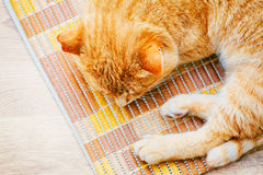 Peaceful Orange Red Tabby Cat Male Kitten Sleeping. Peaceful Orange Red Tabby Cat Male Kitten Curled Up Sleeping In His Bed On Laminate Floor. Top View Stock Image