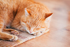 Peaceful Orange Red Tabby Cat Male Kitten Sleeping In His Bed On. Peaceful Orange Red Tabby Cat Male Kitten Curled Up Sleeping In His Bed On Laminate Floor Royalty Free Stock Image