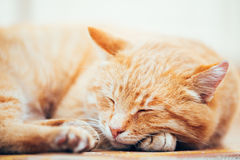 Peaceful Orange Red Tabby Cat Male Kitten Sleeping In His Bed On Floor Stock Image