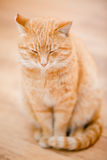 Peaceful Orange Red Tabby Cat Male Kitten Sleeping At Home On La Royalty Free Stock Photo