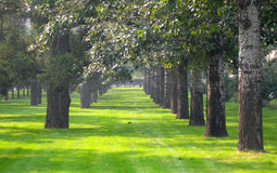 Peaceful park. Two row of poplar trees in grass field in a sunny day, shot at temple of heaven park. Beijing China Royalty Free Stock Image