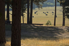 Peaceful pasture scene along Highway 49 Stock Photo