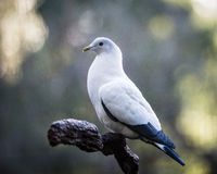 Peaceful pigeon Royalty Free Stock Images