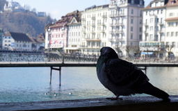 Peaceful pigeon Stock Photography