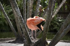 Pink flamingo in front of tree trunks preening its delicate creamy orange feathers in a natural setting stock photography