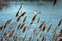 Peaceful Pond. Reeds growing in pond area Royalty Free Stock Photos