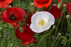 White Peace Poppy in Crimson Field 02 royalty free stock photos