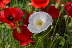 White Peace Poppy in Crimson Field 03 stock photos
