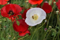 Peaceful White and Red Poppies with Bee stock photo