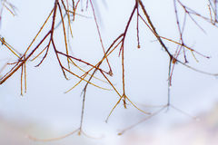 Peaceful Rainy Morning with Raindrops on Wet Branches Royalty Free Stock Photography