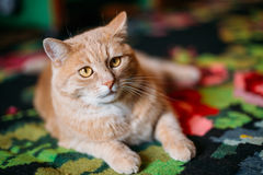 Peaceful Red Cat Male Kitten Lays On Carpet On Stock Photos