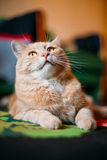 Peaceful Red Cat Male Kitten Lays On Carpet On Stock Image