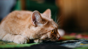 Peaceful Red Cat Male Kitten Lays On Carpet On Royalty Free Stock Photo