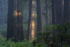 Peaceful redwood grove Stock Photo
