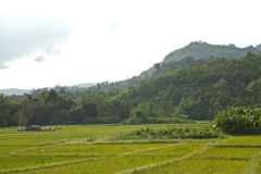 Peaceful rice field Stock Photography