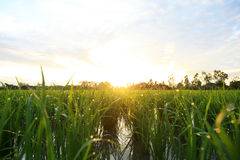 A peaceful rice field on sunrise sky background Royalty Free Stock Photo