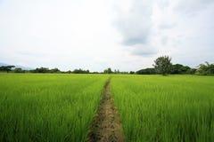 A peaceful rice field on sunrise sky background Stock Photo