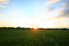 A peaceful rice field on sunrise sky background Stock Images