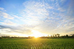 A peaceful rice field on sunrise sky background Stock Photography