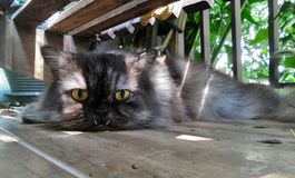 Peaceful and safe corner during day of a grey Persian cat Royalty Free Stock Photos