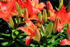 Peaceful scene of bright orange tiger lilies in lush green garden Royalty Free Stock Image
