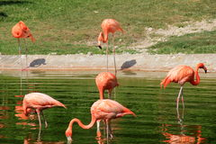 Peaceful scene with flamingos and water Royalty Free Stock Photography