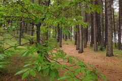 Chestnut Leaves In Forest Pines Of Etna Park, Sicily stock photos