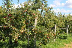 Peaceful scene of old gray fences and apple trees Royalty Free Stock Photo
