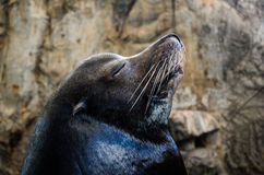 Peaceful sea lion. Sea lion peaceful resting showing its face Stock Photos